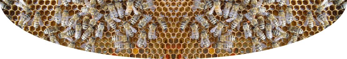 Honeybees on comb.